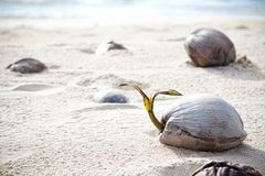 Coconuts on a lonely beach on island Koh Kood. Thailand Stock Images