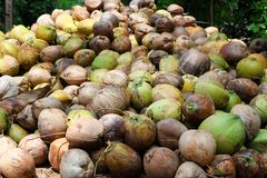 Coconuts are lying in the pile. A huge pile of green young tasty coconuts. Just from the tree Royalty Free Stock Images
