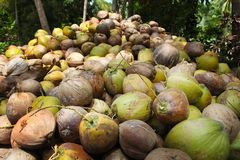 Coconuts are lying in the pile. A huge pile of green young tasty coconuts. Just from the tree. In Thailand, Koh Pha Ngan Royalty Free Stock Image