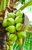 Coconuts Stock Image
