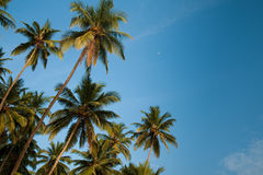 Coconuts and the moon Royalty Free Stock Photo