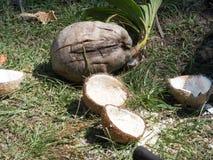 Coconuts open. Thailand Ko Samui Stock Image