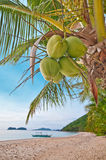 Coconuts on a palm stock photos