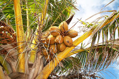 Coconuts on palm Royalty Free Stock Photos