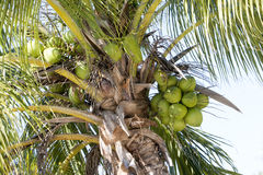 Coconuts an the palm Royalty Free Stock Images