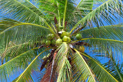 Coconuts on palm tree. Closeup view Royalty Free Stock Photos