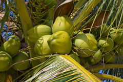 Coconuts on the palm tree Royalty Free Stock Images