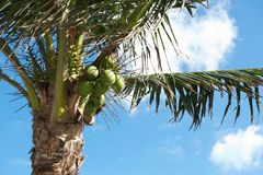 Coconuts and Palm Tree Stock Images