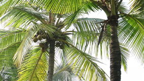 Coconuts on palm tree stock video