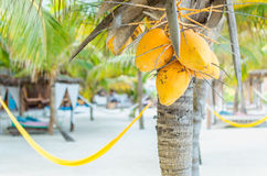 Coconuts on a palm tree against tropical sandy beach. Tropical coconuts hanging on a palm tree with hammock on the background at idyllical exotic white sand Royalty Free Stock Photos