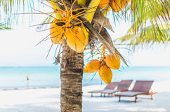 Coconuts on a palm tree against tropical white sandy beach. Tropical coconuts hanging on a palm tree with lounges on the background at exotic white sandy beach Royalty Free Stock Photos