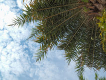 Coconuts palm tree blue sky background Royalty Free Stock Photos