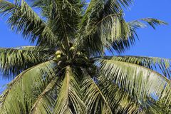 Coconuts on the palm tree Royalty Free Stock Photo
