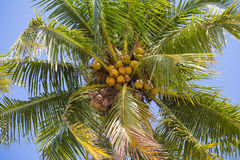 Coconuts palm tree, close up Royalty Free Stock Photo