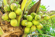 Coconuts on palm tree. Closeup view Stock Image