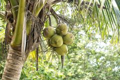 Coconuts and palm tree. Coconuts hanging on the palm,the concept of tropical flora Royalty Free Stock Images