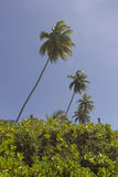 Coconuts palm tree - Coqueirinho beach, Conde PB, Brazil Royalty Free Stock Photo