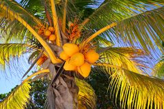 Coconuts in palm tree detail tropical symbol. Near beach Stock Photo
