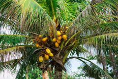 Coconuts on palm tree. Fresh coconuts on beautiful palm tree Royalty Free Stock Photo