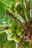 Coconuts palm tree Stock Photo
