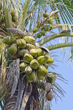 Coconuts on the palm tree Stock Photography