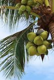 Coconuts on a palm tree. Green coconuts on a palm tree, blue sky, carved palm leaves. The atmosphere of relaxation and enjoyment Stock Image