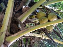 Coconuts  palm tree. Coconuts grow on a palm tree Royalty Free Stock Images
