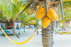 Coconuts on palm tree and hammocks at exotic beach Royalty Free Stock Photo