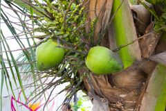 Coconuts in Palm Tree Hawaii. Coconuts in a palm tree close to the ground in Oahu Hawaii Stock Photography