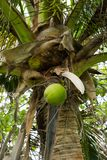 Coconuts in Palm Tree Hawaii. Coconuts in a palm tree close to the ground in Oahu Hawaii Royalty Free Stock Photography