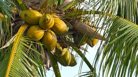 Coconuts on a palm tree. 4k video of coconuts on a palm tree stock video