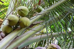 Coconuts on the palm tree in nature.  Stock Images