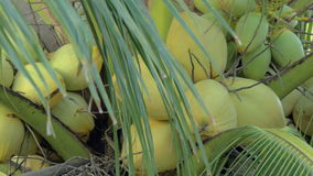 Coconuts on palm tree stock video footage