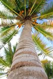 Coconuts palm tree perspective view from floor. High up Royalty Free Stock Photos