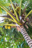 Coconuts palm tree perspective view Stock Image