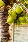 Coconuts palm tree Stock Photo