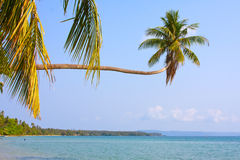 Coconuts palm tree Stock Image