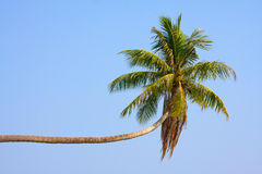 Coconuts palm tree Royalty Free Stock Images