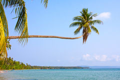 Coconuts palm tree Royalty Free Stock Photo