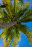 Coconuts palm tree Stock Images