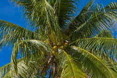 Coconuts palm tree Royalty Free Stock Image