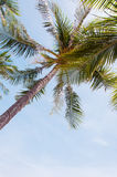 Coconuts palm tree perspective view from floor high up Royalty Free Stock Image