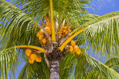 Coconuts palm tree perspective view from floor high up Stock Photo