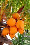 Coconuts in palm tree ripe yellow fruit. Coconuts in palm tree ripe yellow orange color fruit Royalty Free Stock Image