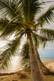 Coconuts palm tree on the sand beach in sunset, close up Royalty Free Stock Images
