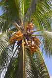 Coconuts on a palm tree Stock Photos