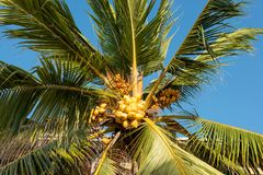 Coconuts on a palm tree. On a sunny day Royalty Free Stock Photos