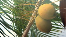 Coconuts on a palm tree swaying in the wind and. Rainy weather stock video