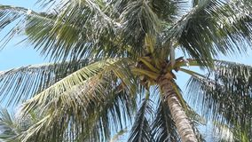 Palm trees against the blue sky. Coconuts palm tree swaying with the wind, set against a clear blue sky stock video footage