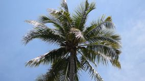 Palm trees against the blue sky. Coconuts palm tree swaying with the wind, set against a clear blue sky stock footage